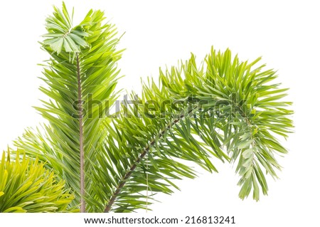 leaves of palm tree isolated on white background #216813241
