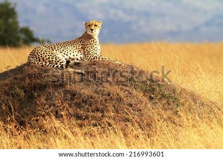 A cheetah (Acinonyx jubatus) on the Masai Mara National Reserve safari in southwestern Kenya. Royalty-Free Stock Photo #216993601