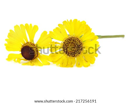 Beautiful yellow flowers (Helenium) on a white background      #217256191