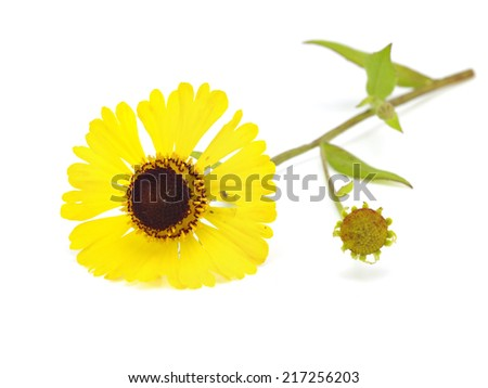 Beautiful yellow flowers (Helenium) on a white background      #217256203