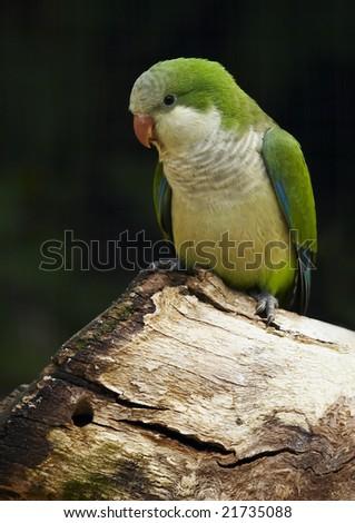 Monk Parakeet (Myiopsitta monachus) #21735088