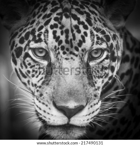 young leopard #217490131