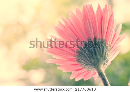 Soft focus photo gerbera flower made with pastel tones,Photos from the rear