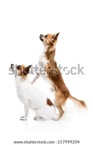 Cute Chihuahuas on white background #217999204