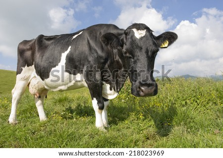 Portrait of a curious Friesian cow in the Alps.  #218023969