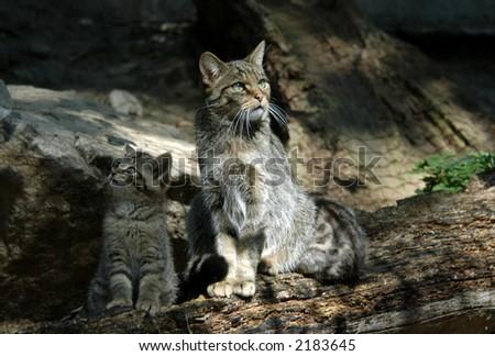 European wildcat (Felis silvestris silvestris) with a kitten #2183645