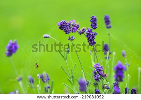 Close-up of lavender flowers.  #219081052