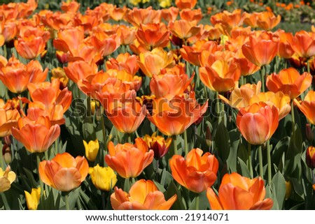Tulips #21914071