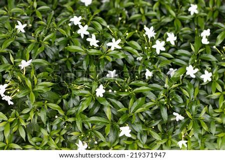 White Gardenia flower #219371947