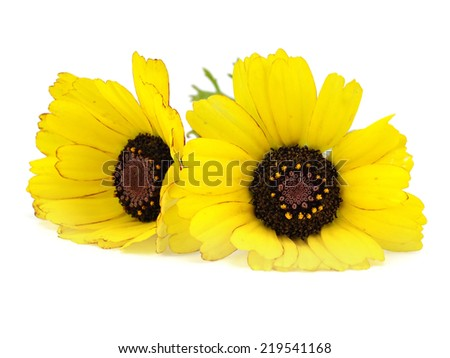Yellow chrysanthemum flower on a white background       #219541168