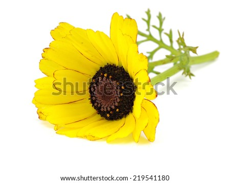 Yellow chrysanthemum flower on a white background       #219541180