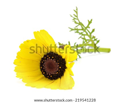 Yellow chrysanthemum flower on a white background       #219541228