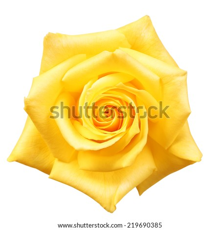 Yellow Rose isolated