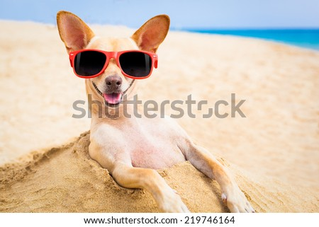 cool chihuahua dog at the beach wearing sunglasses