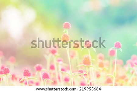 globe amaranth Flower soft focus on pastel tone #219955684