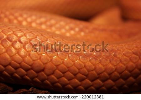 Grass Snake is molting - Ringelnatter #220012381