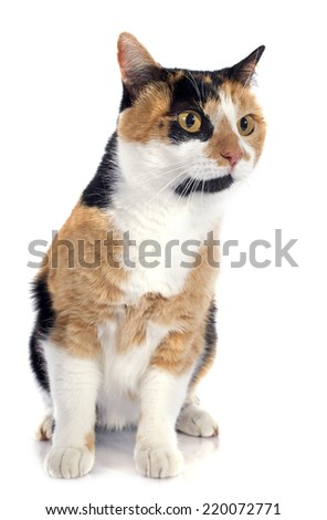 tricolor cat in front of white background #220072771