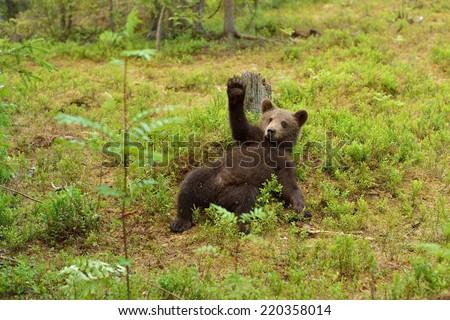 Brown bear cub waving. Hello. Hey. Bye.