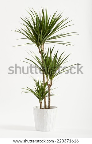 Yucca plant potted in a container for use indoors as a houseplant and decoration over a white background #220371616