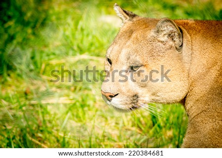 Picture of mountain lion at zoo