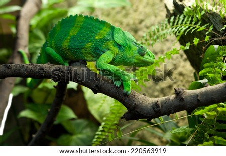 Giant Chameleon, Chamaeleo melleri with strong green colour over branch #220563919