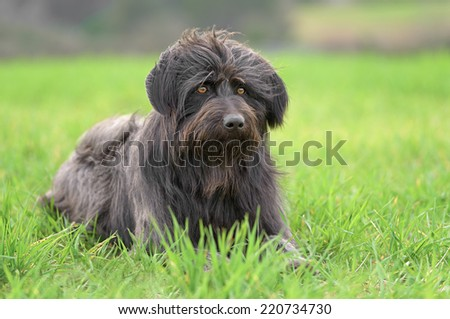 Black male Catalan Shepherd dog outdoors in a field with grass #220734730