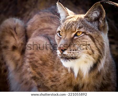 Portrait of a wild Iberian lynx #221055892