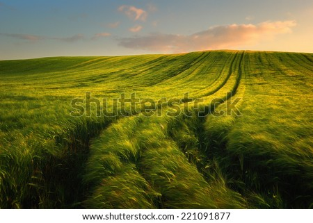 Wheat field landscape with path in the sunset time #221091877