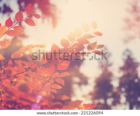 bright red leaves in soft focus, autumn background, very shallow focus  #221226094
