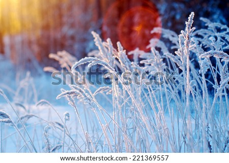 Winter scene .Frozenned flower .pine forest and sunset Royalty-Free Stock Photo #221369557