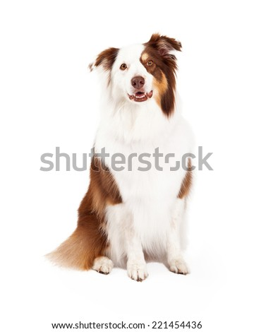 A beautiful brown, gold, and white border collie is sitting and looking into the camera. #221454436