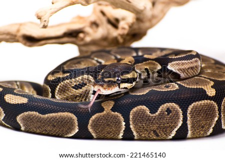 Picture of a Python Snake on a white background #221465140