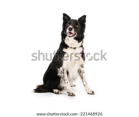 Picture of a border collie on a white background