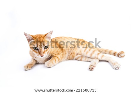 Portrait of red  cat on the isolated background #221580913