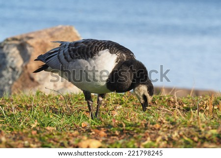 barnacle goose #221798245