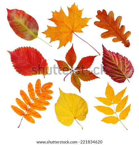 Set of autumn leaves (maple, wild grapes, elm, linden, oak, chestnut tree, rowan, pear) isolated on white #221834620