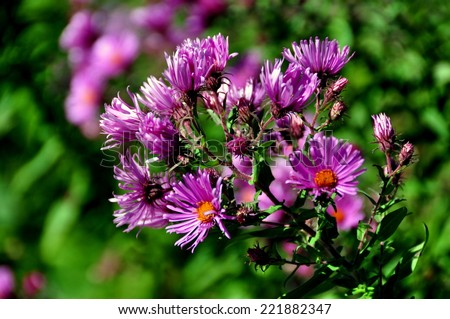 Bartonsville, Vermont:  Purple wild Asters near a small cottage near the Bartonsville Covered Bridge #221882347