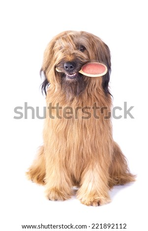 Briard holding brush in its mouth on white background #221892112