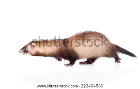 running ferret. isolated on white background #222404560