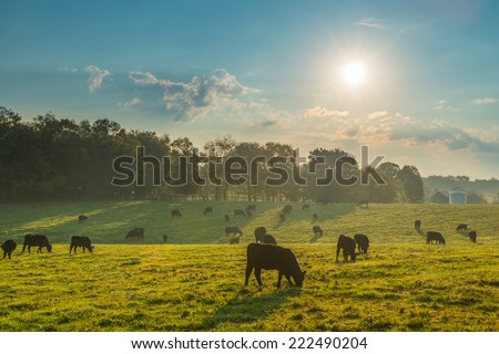 Grazing Cows  #222490204