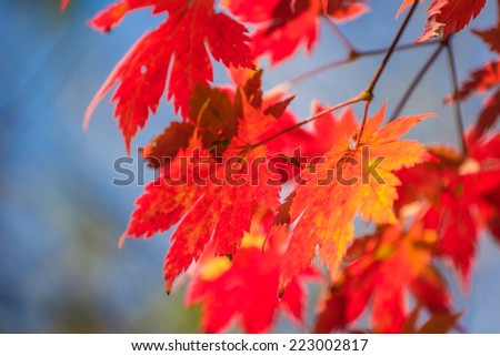 Red maple leaves close-up #223002817