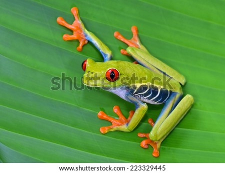 red eyed tree frog or gaudy leaf frog or Agalychnis callidryas a arboreal hylid native to tropical rainforests in Central America in panama and costa rica . Mistakenly also called the Green Tree Frog  #223329445