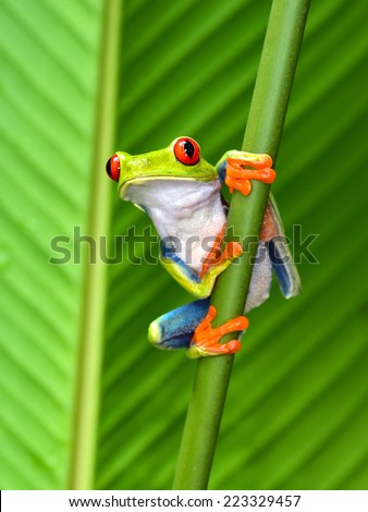 red eyed tree frog or gaudy leaf frog or Agalychnis callidryas a arboreal hylid native to tropical rainforests in Central America in panama and costa rica . Mistakenly also called the Green Tree Frog  #223329457