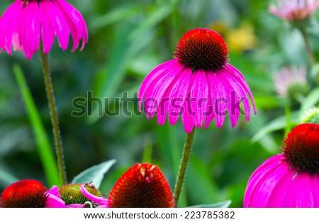Rudbeckia /Coneflower Pink Gerbera flowers