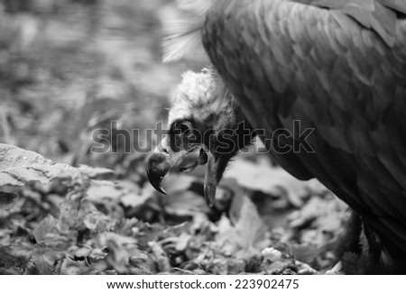 vulture #223902475