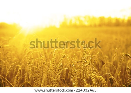 backdrop of ripening ears of yellow wheat field on the sunset cloudy orange sky background Copy space of the setting sun rays on horizon in rural meadow Close up nature photo Idea of a rich harvest #224032465