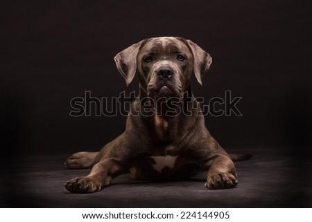 Cane corso, dog on the black background #224144905