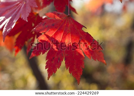 Autumn leaves in beams of the soft autumn sun #224429269