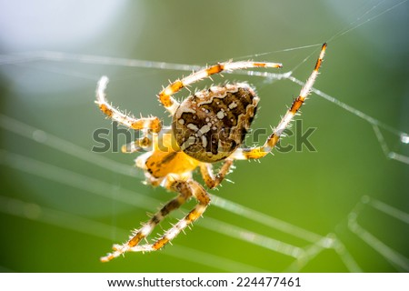 Spiderman climbs on its web for prey