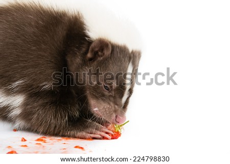 Picture of a skunk eating a strawberry on a white background